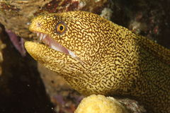 bonaire gymnothoraxmoray prickiga moringa Royaltyfria Foton