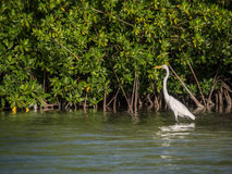 Bonaire Heron. The Mangroves of Lac Bay and Bakuna Bonaire Durch Caribbean royalty free stock photo