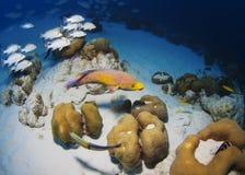 Bonaire Hogfish Royaltyfri Foto