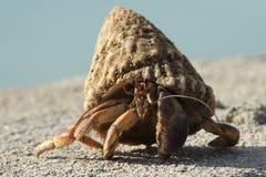bonaire krabbaensling Arkivfoto