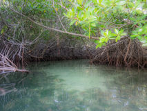 Bonaire - Mangroves Royalty Free Stock Images