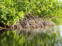 Bonaire - Mangroves reflections Royalty Free Stock Photography