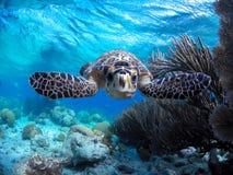 Free Bonaire Sea Turtles Royalty Free Stock Photos - 139487858