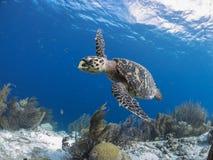 Free Bonaire Sea Turtles Royalty Free Stock Photos - 139487998