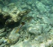 Bonaire squid Royalty Free Stock Image