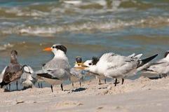 Royal Terns seagulls Stock Image