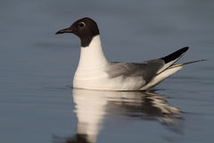 Bonaparte Gull. In nice light with good eye contact Stock Image