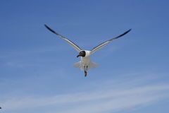 Bonaparte gull with wings spread Stock Photo
