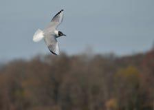 Bonaparte's Gull. A Bonaparte's Gull in flight against a blue sky Stock Photography