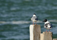 Bonaparte's Gull. A Bonaparte's Gull perched on a wooden post at the waters edge Stock Photography