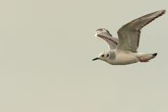 Bonaparte's Gull. Adult Bonaparte's Gull In Winter Plumage In Flight Stock Image