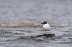 Bonaparte's gull. A Bonaparte's gull (breeding adult) resting on a rock in the middle of a lake during a very windy day in Chibougamau (Quebec, Canada). Picture Royalty Free Stock Photos