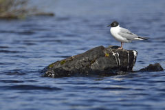 Bonaparte's gull. A Bonaparte's gull (breeding adult) resting on a rock in the middle of a lake during a very windy day in Chibougamau (Quebec, Canada). Picture Stock Photography