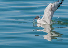 Bonaparte's Gull. A Bonaparte's Gull catching minnows on  a river Royalty Free Stock Photo