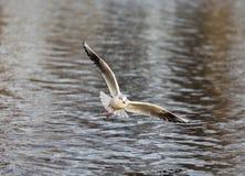Bonaparte's Gull in Elgin. This is a Bonaparte's Gull at Cooper park, Boating Pond, Elgin, Moray, Scotland, United Kingdom Stock Photos