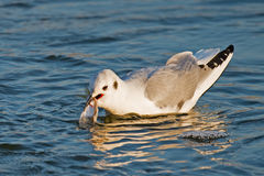 Bonaparte's Gull. With fish Royalty Free Stock Images