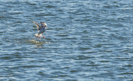 Bonaparte's Gull with fish. Bonaparte's Gull flipping fish before swallowing it Royalty Free Stock Image