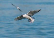 Bonaparte's Gull. A Bonaparte's Gull in flight along a river Royalty Free Stock Photos