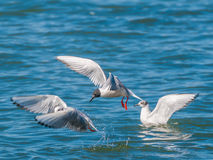 Bonaparte's Gull. A Bonaparte's Gull in flight along a river diving for minnows Royalty Free Stock Images