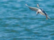 Bonaparte's Gull. A Bonaparte's Gull in flight along a river diving for minnows Stock Photo
