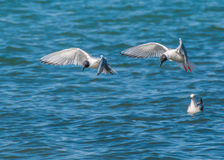 Bonaparte's Gull. A Bonaparte's Gull in flight along a river diving for minnows Stock Image