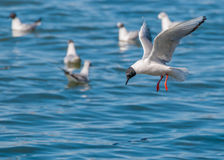 Bonaparte's Gull. A Bonaparte's Gull in flight along a river diving for minnows Royalty Free Stock Photography