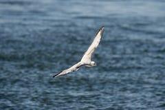 Bonaparte's Gull in flight Stock Photo
