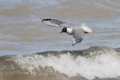 Bonaparte's Gull in Flight Stock Images