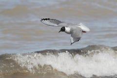 Bonaparte's Gull in Flight. Bonaparte's Gull (Chroicocephalus philadelphia) Flying Over Lake Huron - Ontario, Canada Stock Images