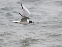 Bonaparte`s Gull in Flight Royalty Free Stock Photo