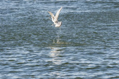 Bonaparte's Gull flipping fish. Bonaparte's Gull prepping fish for a meal Royalty Free Stock Photo