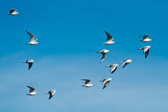 Bonaparte's Gull Stock Image