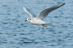 Bonaparte's Gull. Flying over the surface of the water Royalty Free Stock Image