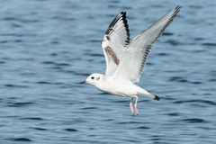 Bonaparte's Gull. Flying over the surface of the water Royalty Free Stock Photos