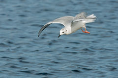 Bonaparte's Gull. Flying over the surface of the water looking for a fish Stock Photo