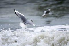 Bonaparte`s Gull frolicking in Atlantic Ocean surf Myrtle Beach. Gull playing in ocean surf. Bonaparte`s gull Chroicocephalus philadelphia is a member of the royalty free stock photos
