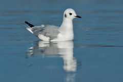 Bonaparte's Gull. Juvenile Bonaparte's Gull swimming on the surface of the water with reflection Royalty Free Stock Photography