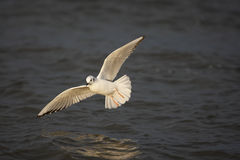 Bonaparte's Gull (Larus philadelphia) Stock Images