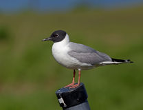 Bonaparte's Gull Royalty Free Stock Photography