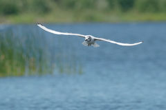 Bonaparte's Gull. Soaring over a pond Stock Images