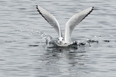 Bonaparte's Gull. Splashing into the surface of the water Stock Images