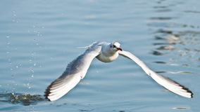 Bonaparte's gull take-off (Larus Philadelphia) Royalty Free Stock Photo