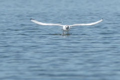 Bonaparte's Gull. Taking flight from the surface of the water Royalty Free Stock Image