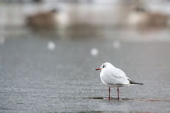 Bonaparte's Gull. In winter on the ice Stock Photo