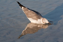 Bonaparte's gull in winter plumage. Adult Bonaparte's gull (Chroicocephalus philadelphia) in winter plumage reflected in water while washing its face at Lido Royalty Free Stock Images