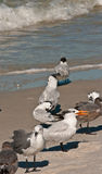 Royal Terms and sea gulls. Royal Terns and Seagull with juveniles at a tropical beack in florida Royalty Free Stock Photography