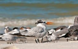 Royal Terns. With juveniles on a tropical beach in southwest florida Stock Photos