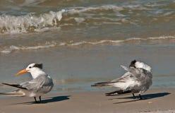 Bonaparte seagulls Royalty Free Stock Images