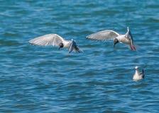 Bonapartes fiskmås Fotografering för Bildbyråer