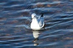 Bonapartes Gull Stock Photography